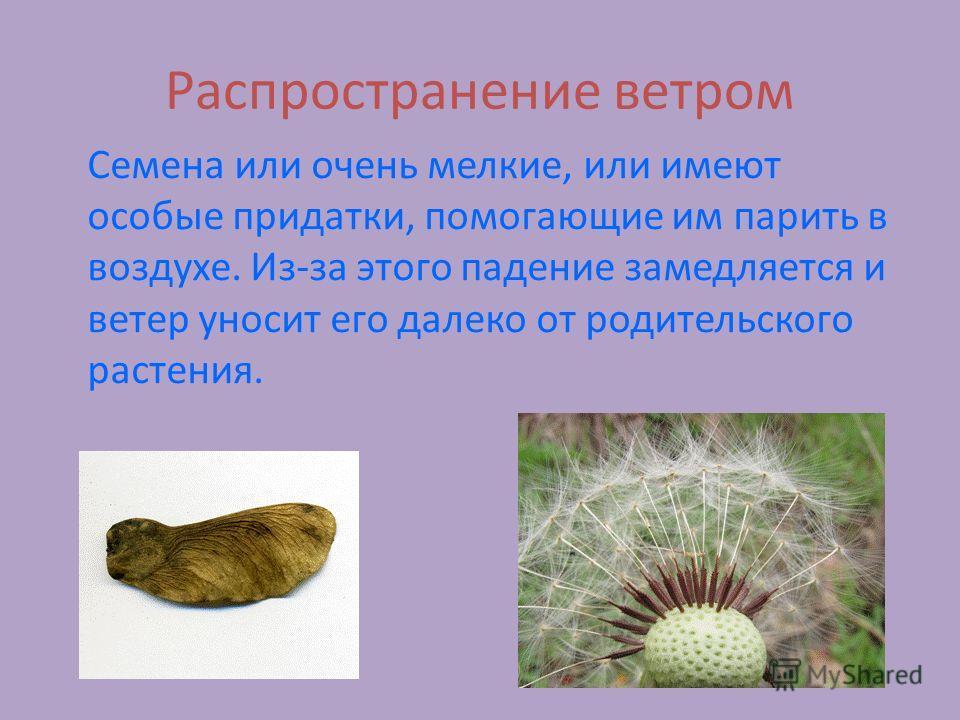 Распространение ветром Семена или очень мелкие, или имеют особые придатки, помогающие им парить в воздухе. Из-за этого падение замедляется и ветер уносит его далеко от родительского растения.