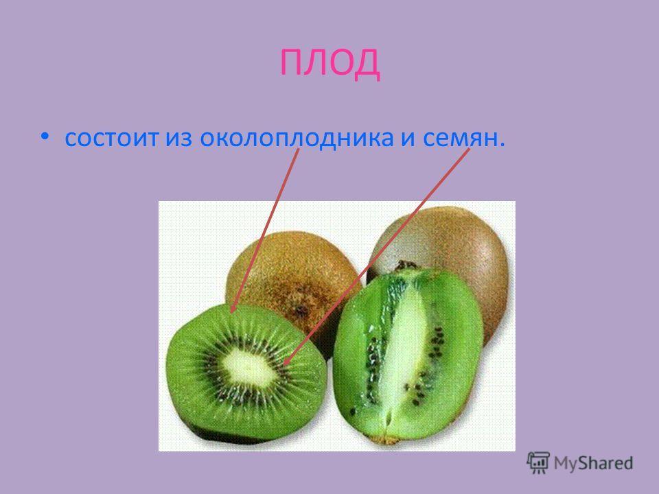 ПЛОД состоит из околоплодника и семян.