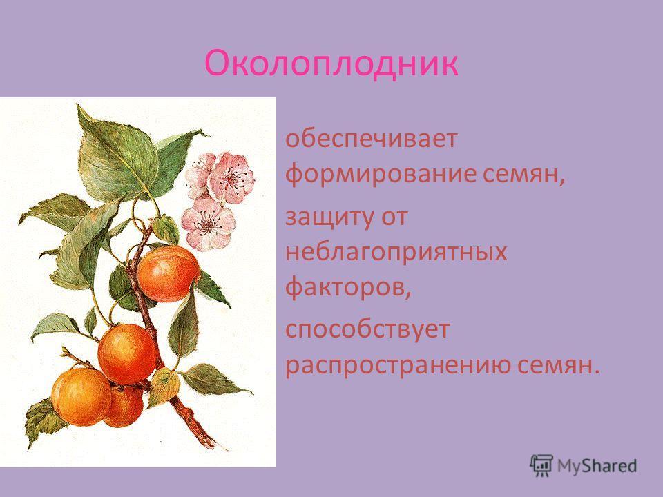 Околоплодник обеспечивает формирование семян, защиту от неблагоприятных факторов, способствует распространению семян.