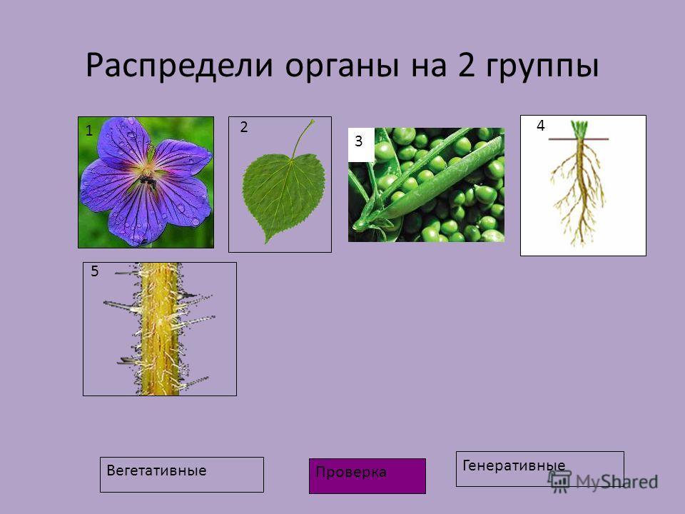 Распредели органы на 2 группы Вегетативные Генеративные 1 2 3 4 5 Проверка