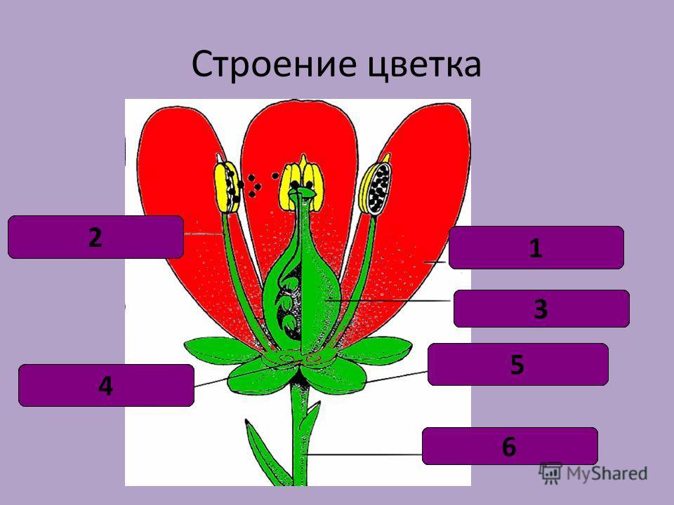 Лепесток 1 Тычинка2 Цветоложе 4 Цветоножка6 Чашелистик5 пестик3 Строение цветка