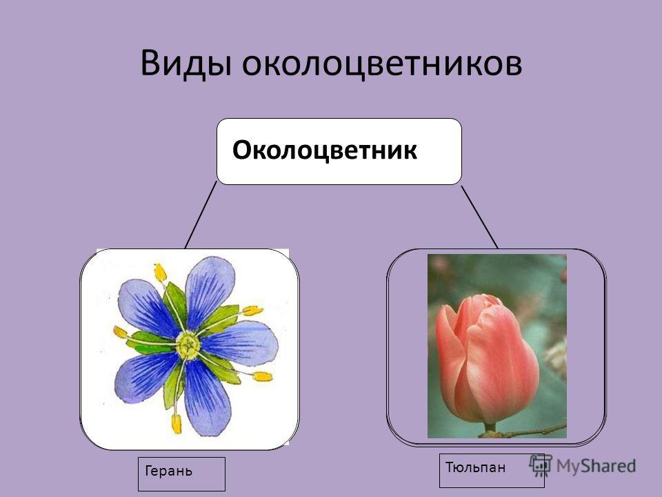 Виды околоцветников Околоцветник Герань Тюльпан