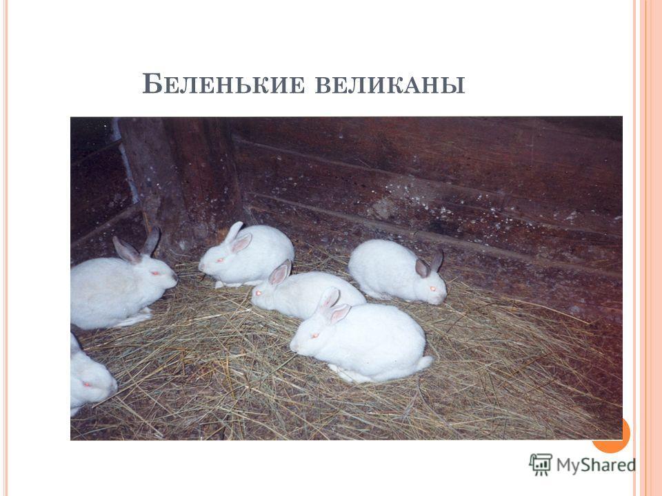 Б ЕЛЕНЬКИЕ ВЕЛИКАНЫ