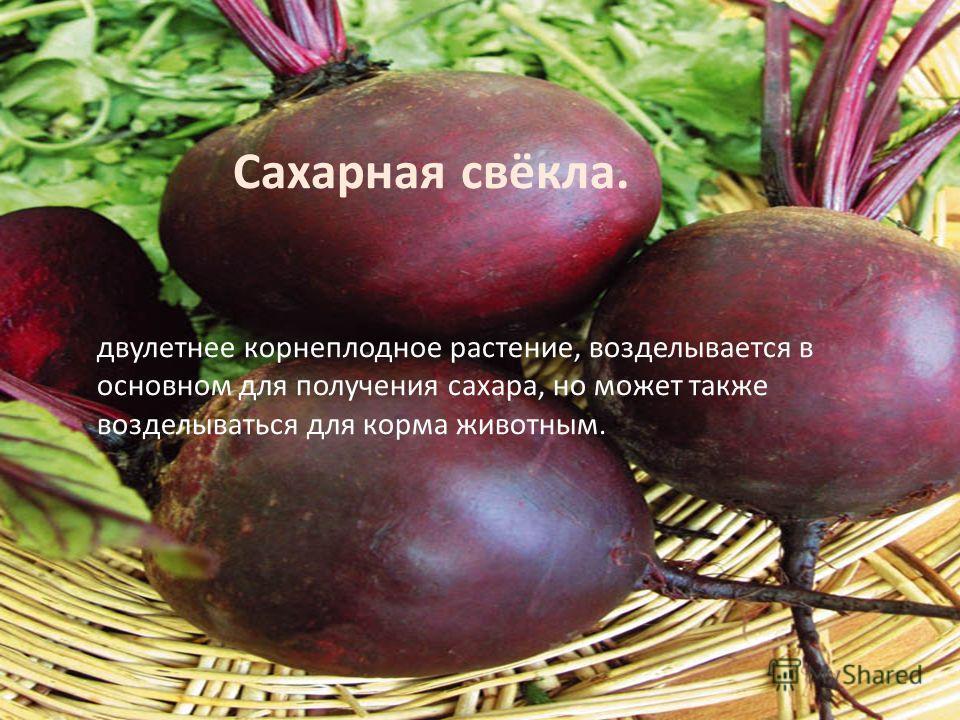 Сахарная свёкла. двулетнее корнеплодное растение, возделывается в основном для получения сахара, но может также возделываться для корма животным.