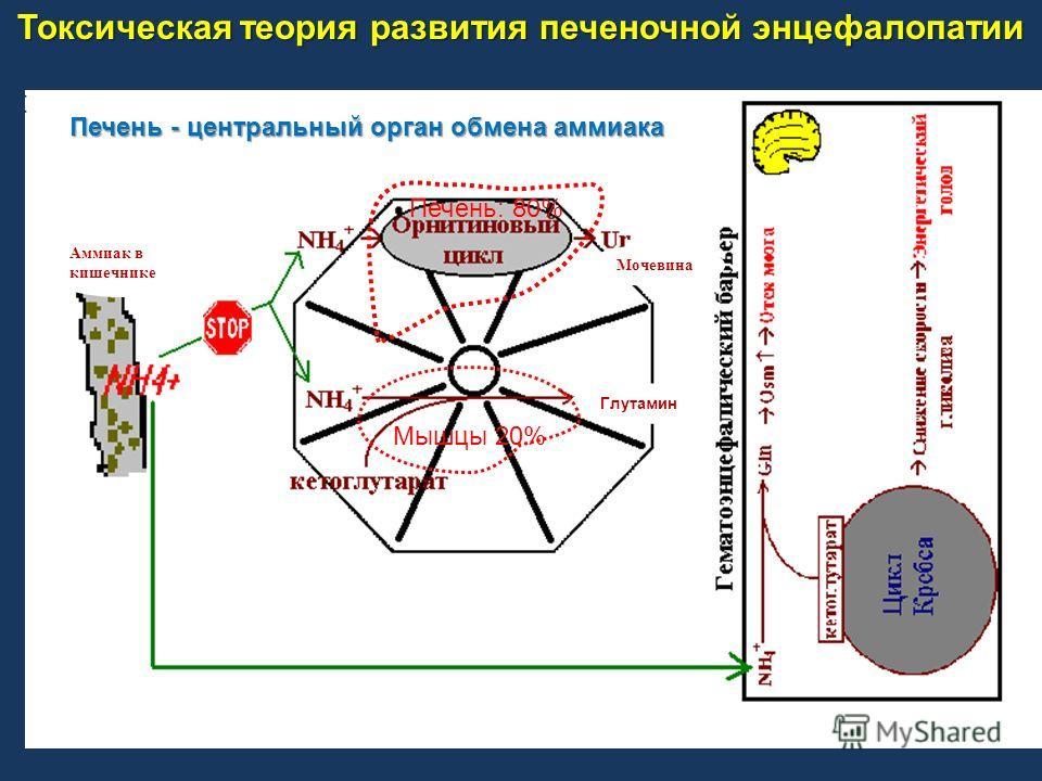 Печень: 80% Мышцы 20% Мочевина Глутамин Аммиак в кишечнике Печень - центральный орган обмена аммиака Токсическая теория развития печеночной энцефалопатии