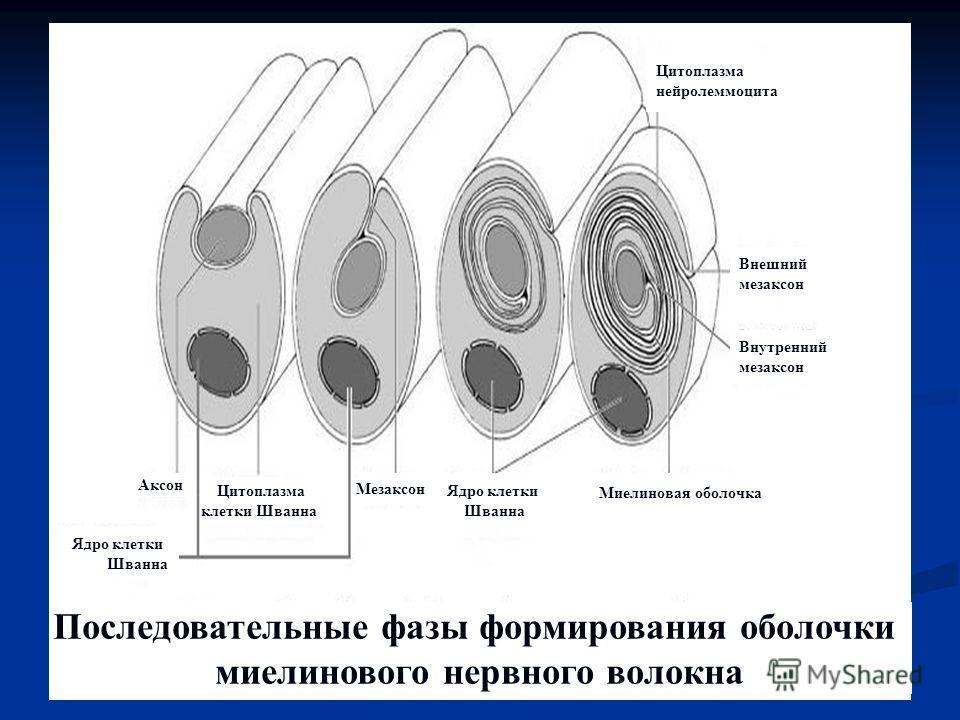 Последовательные фазы формирования оболочки миелинового нервного волокна Цитоплазма нейролеммоцита Внешний мезаксон Внутренний мезаксон Цитоплазма клетки Шванна Ядро клетки Шванна Мезаксон Аксон Ядро клетки Шванна Миелиновая оболочка