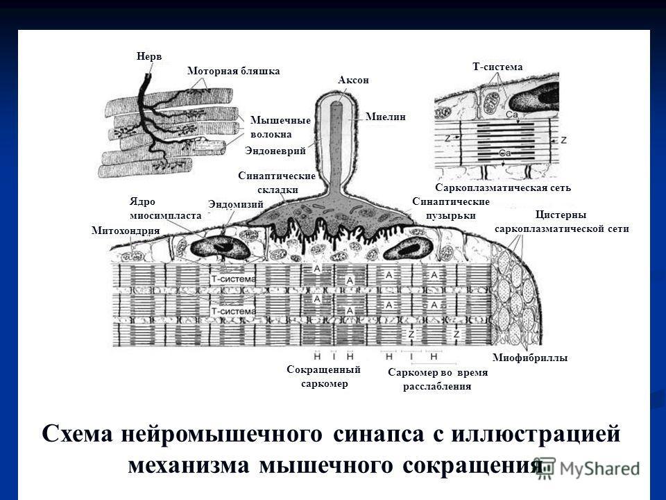 Схема нейромышечного синапса с иллюстрацией механизма мышечного сокращения Т-система Миофибриллы Миелин Аксон Нерв Митохондрия Мышечные волокна Ядро миосимпласта Эндомизий Саркоплазматическая сеть Эндоневрий Моторная бляшка Синаптические складки Цист