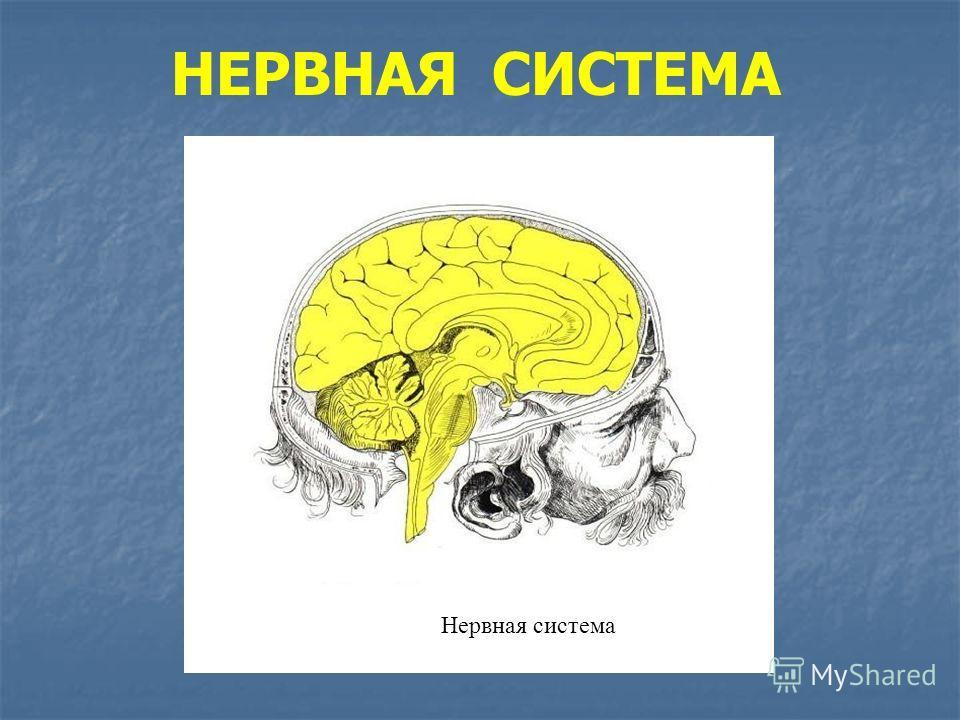 НЕРВНАЯ СИСТЕМА Нервная система