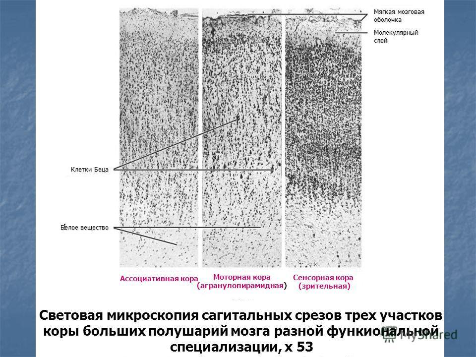 Световая микроскопия сагитальных срезов трех участков коры больших полушарий мозга разной функиональной специализации, х 53 Ассоциативная кора Моторная кора (агранулопирамидная) Сенсорная кора (зрительная) Клетки Беца Мягкая мозговая оболочка Белое в