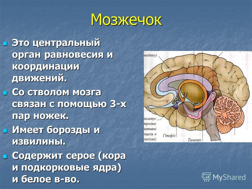 Мозжечок Это центральный орган равновесия и координации движений. Это центральный орган равновесия и координации движений. Со стволом мозга связан с помощью 3-х пар ножек. Со стволом мозга связан с помощью 3-х пар ножек. Имеет борозды и извилины. Име