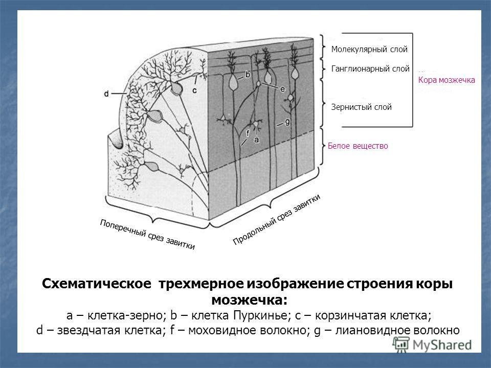 Схематическое трехмерное изображение строения коры мозжечка: а – клетка-зерно; b – клетка Пуркинье; с – корзинчатая клетка; d – звездчатая клетка; f – моховидное волокно; g – лиановидное волокно Поперечный срез завитки Продольный срез завитки Белое в