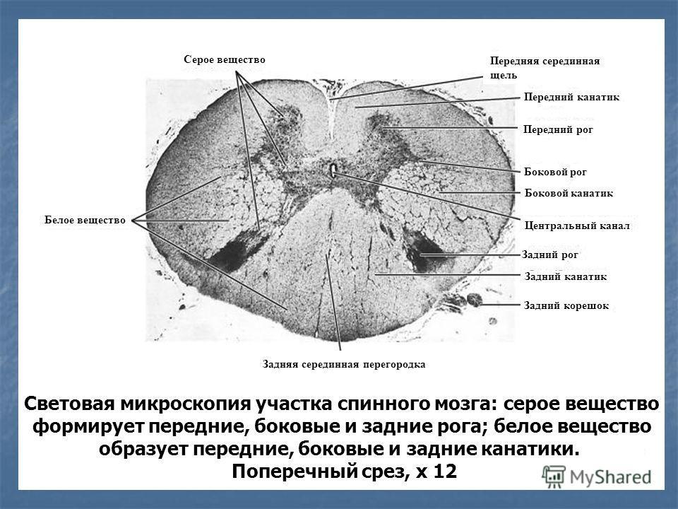 Световая микроскопия участка спинного мозга: серое вещество формирует передние, боковые и задние рога; белое вещество образует передние, боковые и задние канатики. Поперечный срез, х 12 Задняя серединная перегородка Серое вещество Боковой канатик Бок