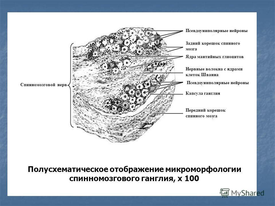 Полусхематическое отображение микроморфологии спинномозгового ганглия, х 100 Спинномозговой нерв Псевдоуниполярные нейроны Задний корешок спинного мозга Ядра мантийных глиоцитов Нервные волокна с ядрами клеток Шванна Псевдоуниполярные нейроны Капсула