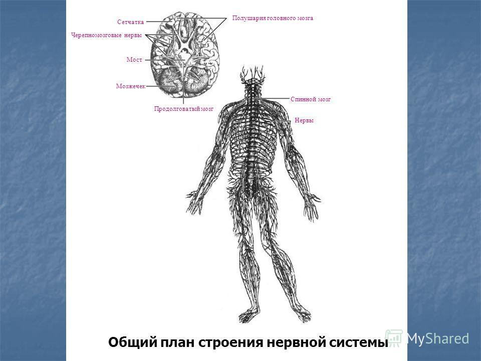 Общий план строения нервной системы Полушария головного мозга Черепномозговые нервы Мост Мозжечек Продолговатый мозг Нервы Спинной мозг Сетчатка