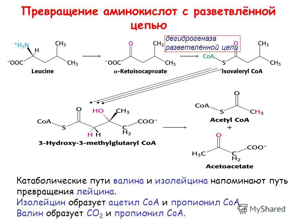 Превращение аминокислот с разветвлённой цепью Катаболические пути валина и изолейцина напоминают путь превращения лейцина. Изолейцин образует ацетил CoA и пропионил CoA Валин образует CO 2 и пропионил CoA. дегидрогеназа разветвлённой цепи