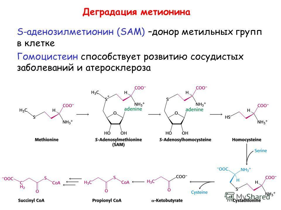 Деградация метионина S-аденозилметионин (SAM) –донор метильных групп в клетке Гомоцистеин способствует розвитию сосудистых заболеваний и атеросклероза