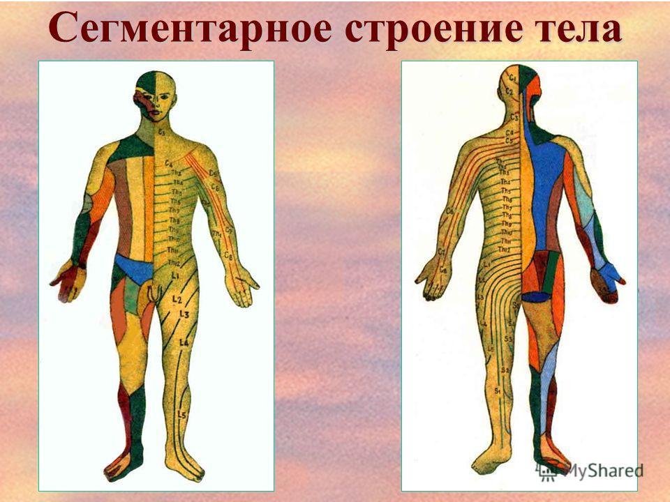 Сегментарное строение тела