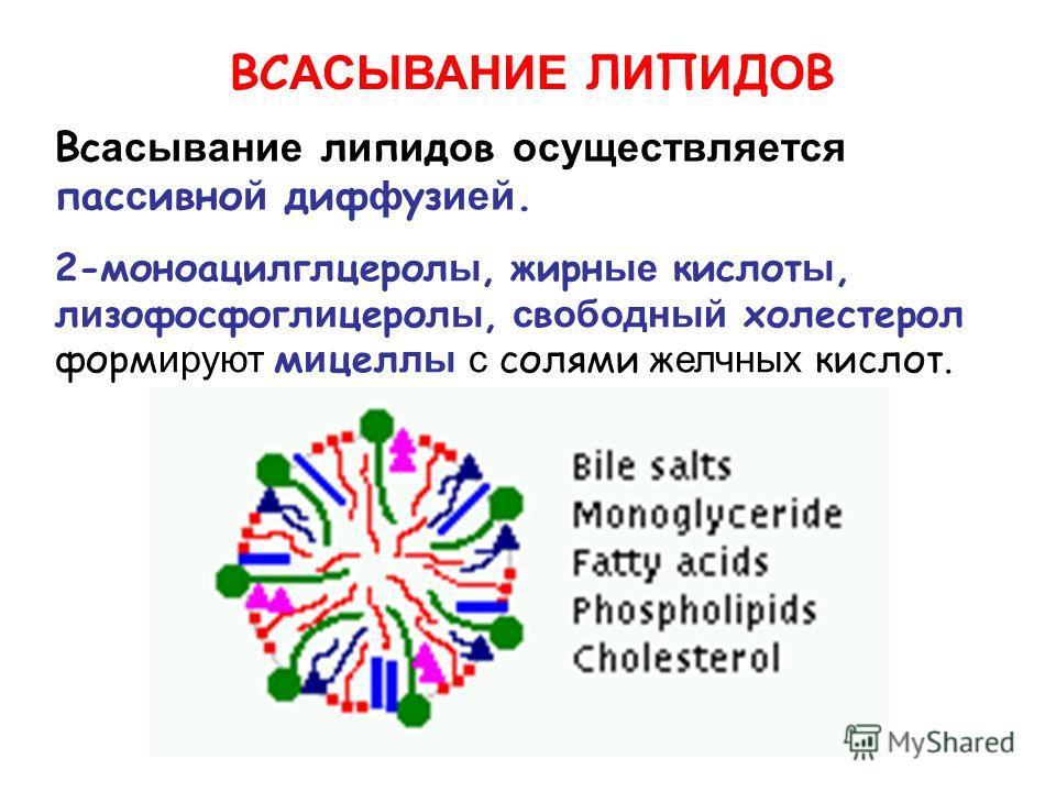 ВС АСЫВАНИЕ Л И П И Д О В 2-моноацилглцерол ы, жирн ые кислот ы, л и зофосфогл и церол ы, с в ободный холестерол форм ируют м и цел лы с солями ж елчных кислот. Вс асывание л и п и д о в осуществляется пас с ивно й диф ф уз ией.