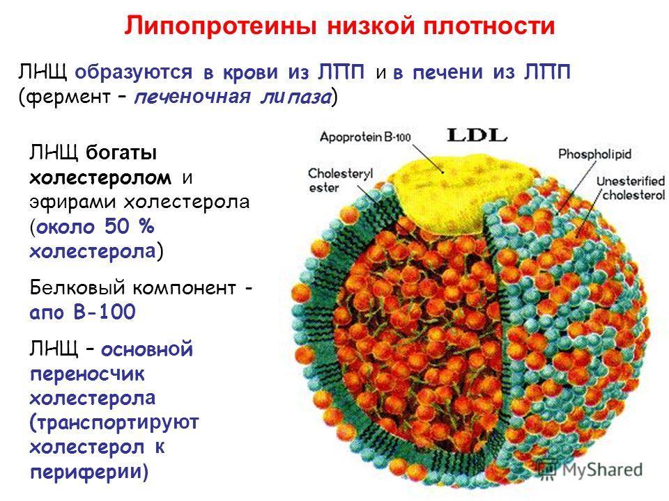 Л ипопротеины низкой плотности ЛНЩ образуются в кров и и з ЛП П и в печ ени из ЛП П (фермент – печ еночная л и паза) ЛНЩ богаты холестеролом и э ф и рами холестерол а ( около 50 % холестерол а ) Б е лков ы й компонент - aпo B-100 ЛНЩ – основн о й пер