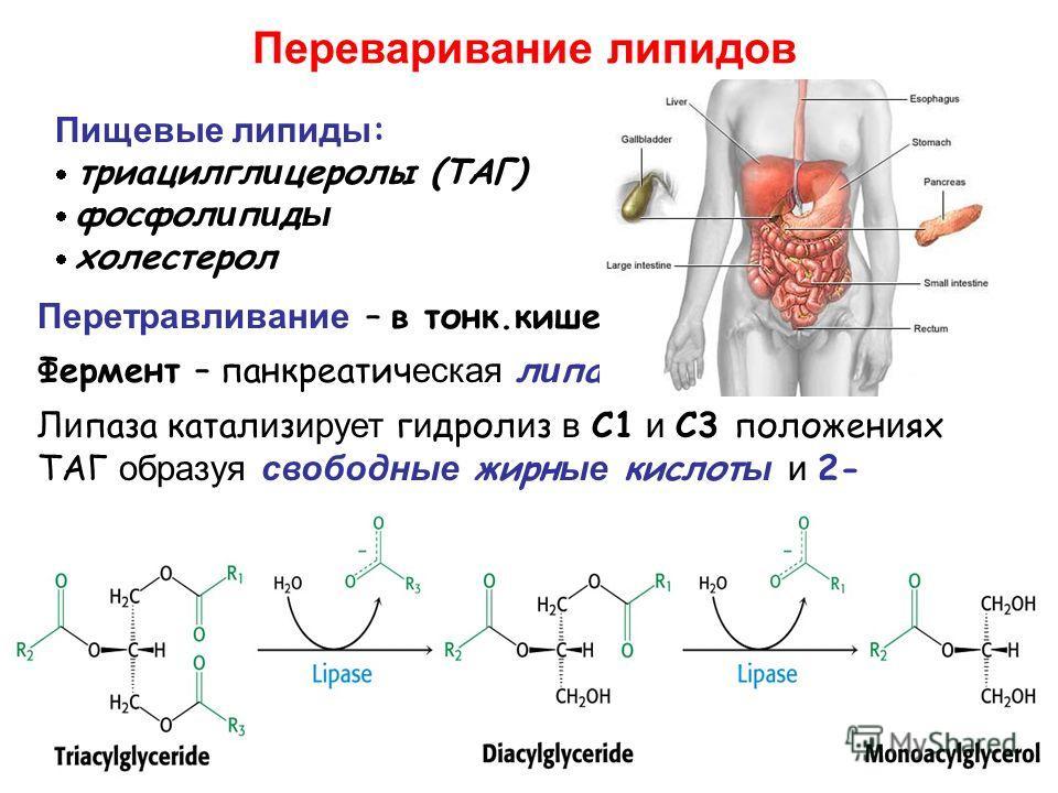Переваривание липидов Пищевые липиды : триацилгл и церолы (ТАГ) фосфол и п и д ы холестерол Перетравливание – в тонк.кишечник е. Фермент – панкреатич еская л и паза Л и паза катал и з ирует г и дрол и з в C1 и C3 положен и ях ТАГ образуя свободные жи