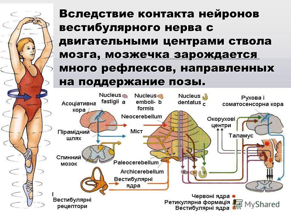 Вследствие контакта нейронов вестибулярного нерва с двигательными центрами ствола мозга, мозжечка зарождается много рефлексов, направленных на поддержание позы.