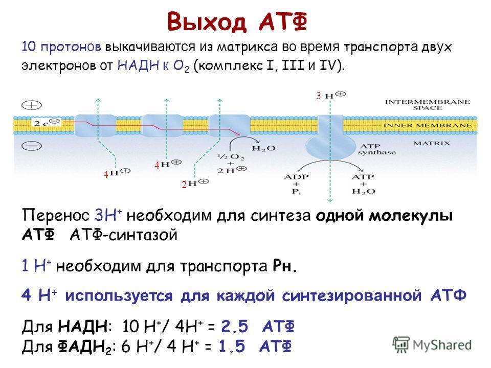 Перен ос 3H + необх о д им для синтез а одн ой молекул ы АТФ АТФ-синтазо й 1 H + необх о д им для транспорт а P н. 4 H + использует ся для к а ж д о й синтез ированной АT Ф Для НАДН: 10 H + / 4H + = 2.5 АТФ Для ФАДН 2 : 6 H + / 4 H + = 1.5 ATФ В ы х