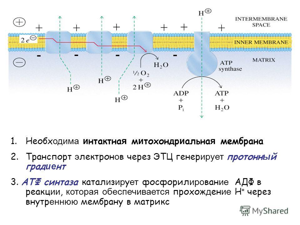 + +++ + + -- - - 1.Необх одима и нтактна я м и тохондр и альна я мембрана 2.Транспорт э лектрон о в через Э Т Ц генер ирует протонн ы й град ие нт 3. AТФ синтаза катал и з ир у ет фосфорил иро ван ие АДФ в реакц ии, которая обеспечивается прохож д ен