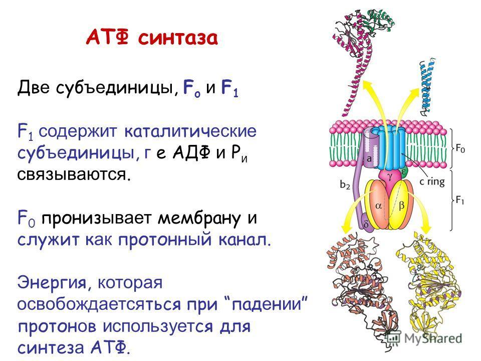 АТФ синтаза Дв е суб ъе диниц ы, F o и F 1 F 1 содержит катал и тич еские суб ъе диниц ы, г е АДФ и P и связываются. F 0 прониз ывает мембрану и служит к ак протонн ы й канал. Э нерг и я, которая освобождается ться при пад е н ии протон о в используе