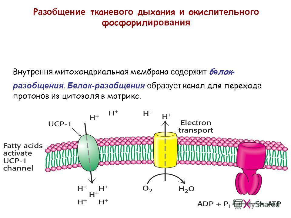 Р азобщение ткан евого д ы хан и я и окис лительного фосфорил ирования Внутр ення м и тохондр и альна я мембрана содержит б е лок - разобщения. Белок-разобщения образует канал для переход а протон о в и з цитозол я в матрикс.