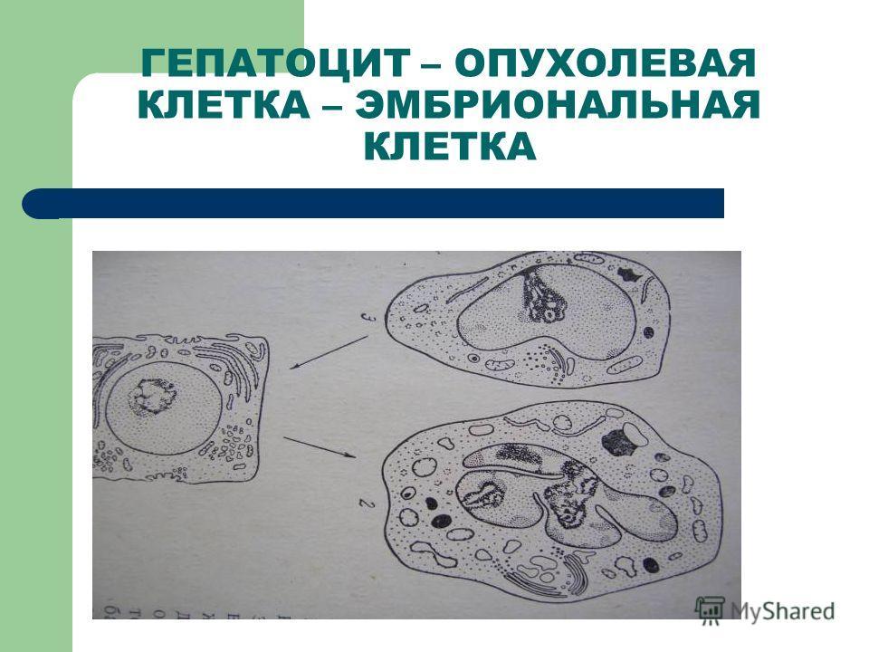 ГЕПАТОЦИТ – ОПУХОЛЕВАЯ КЛЕТКА – ЭМБРИОНАЛЬНАЯ КЛЕТКА