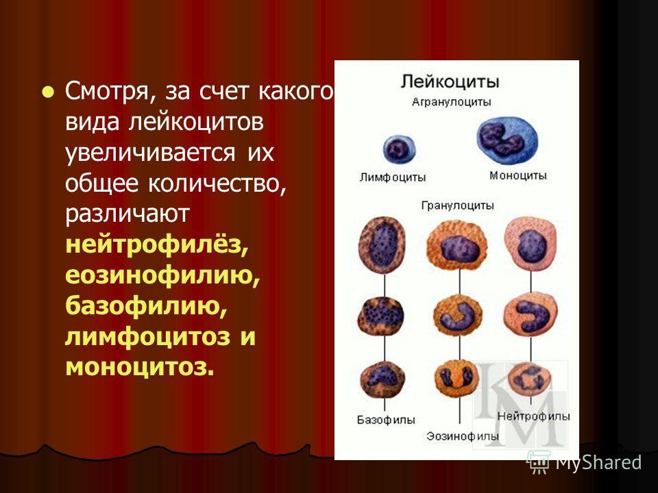 Смотря, за счет какого вида лейкоцитов увеличивается их общее количество, различают нейтрофилёз, еозинофилию, базофилию, лимфоцитоз и моноцитоз.