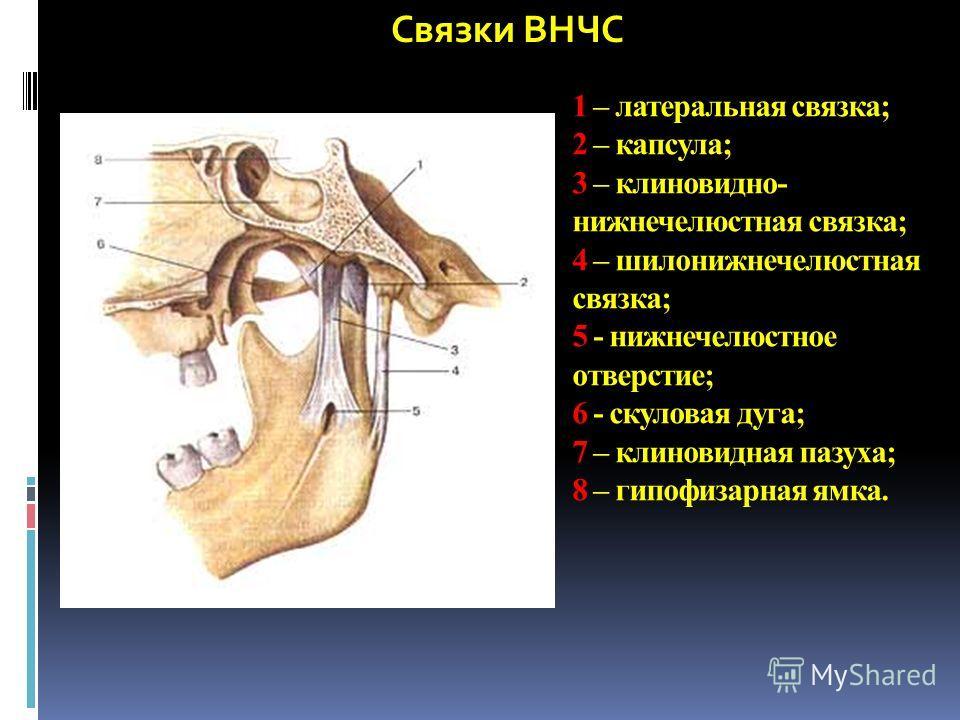 Связки ВНЧС 1 – латеральная связка; 2 – капсула; 3 – клиновидно- нижнечелюстная связка; 4 – шилонижнечелюстная связка; 5 - нижнечелюстное отверстие; 6 - скуловая дуга; 7 – клиновидная пазуха; 8 – гипофизарная ямка.