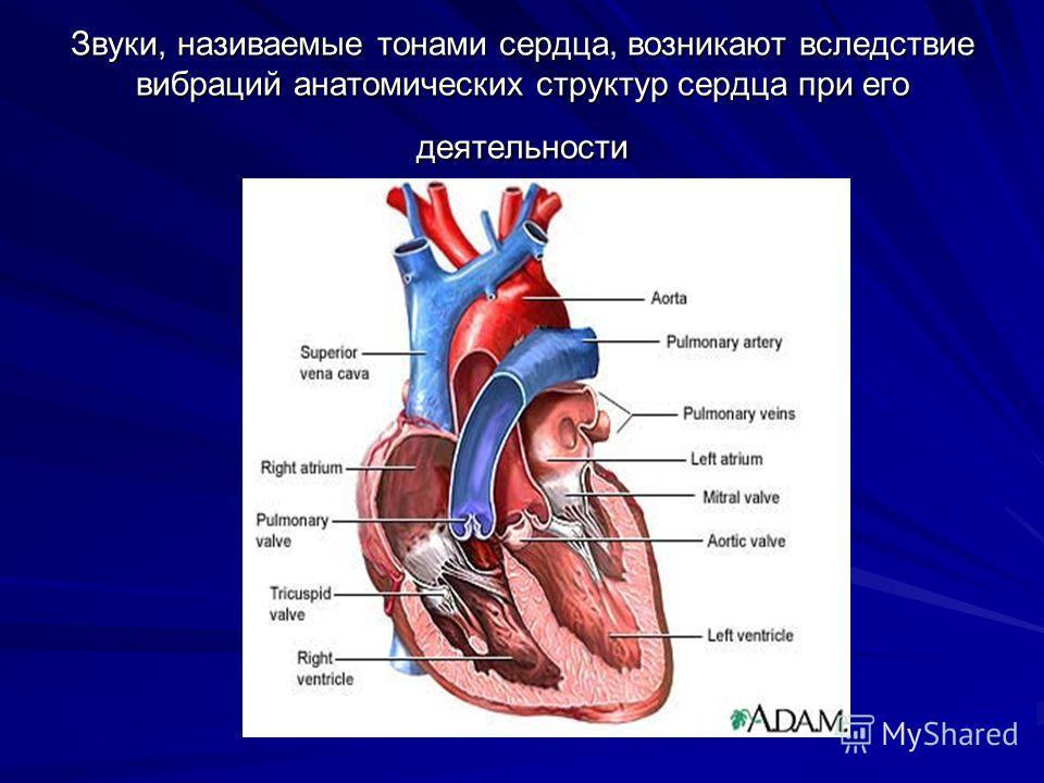 Звуки, називаемые тонами сердца, возникают вследствие вибраций анатомических структур сердца при его деятельности