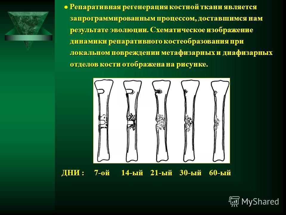 Репаративная регенерация костной ткани является Репаративная регенерация костной ткани является запрограммированным процессом, доставшимся нам запрограммированным процессом, доставшимся нам результате эволюции. Схематическое изображение результате эв
