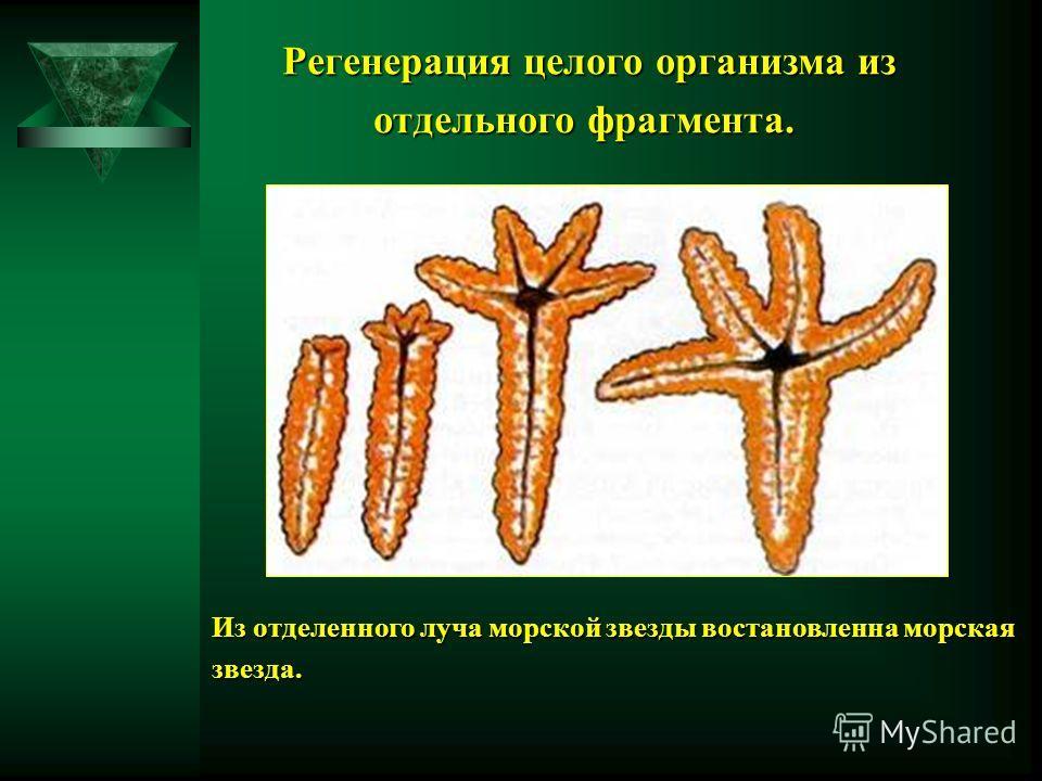 Регенерация целого организма из Регенерация целого организма из отдельного фрагмента. отдельного фрагмента. Из отделенного луча морской звезды востановленна морская звезда.