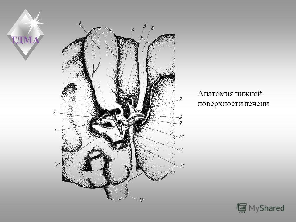 ТДМА Анатомия нижней поверхности печени