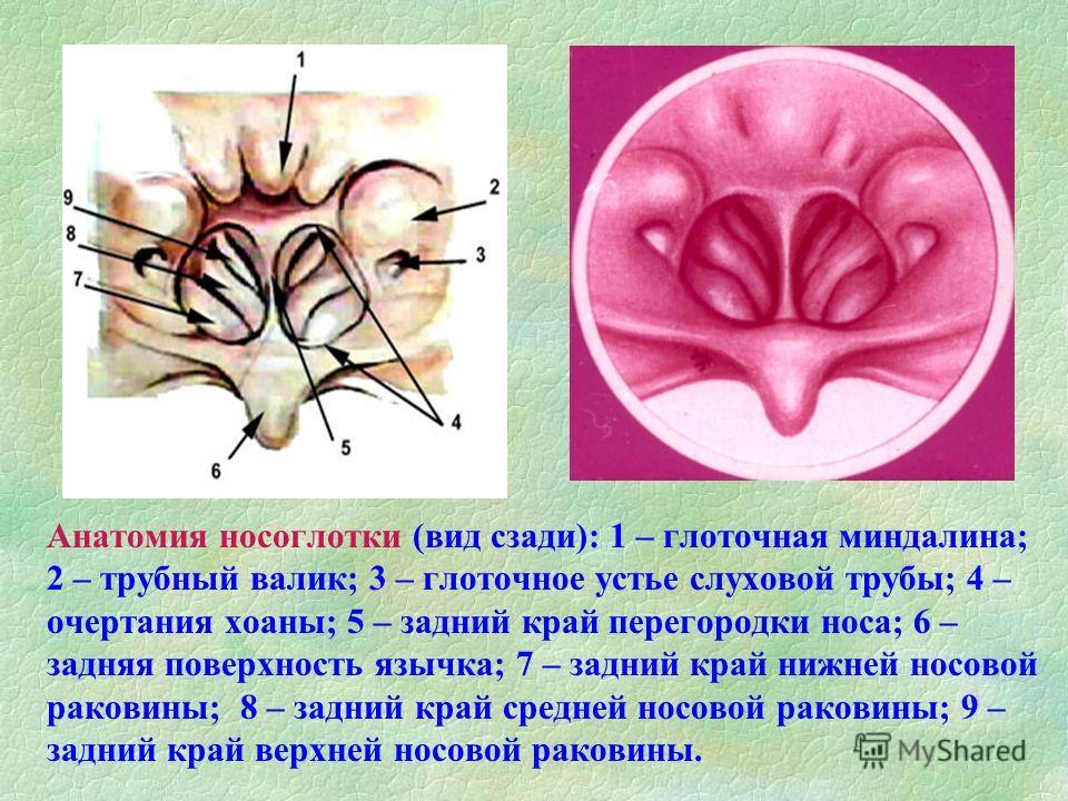 Анатомия носоглотки (вид сзади): 1 – глоточная миндалина; 2 – трубный валик; 3 – глоточное устье слуховой трубы; 4 – очертания хоаны; 5 – задний край перегородки носа; 6 – задняя поверхность язычка; 7 – задний край нижней носовой раковины; 8 – задний