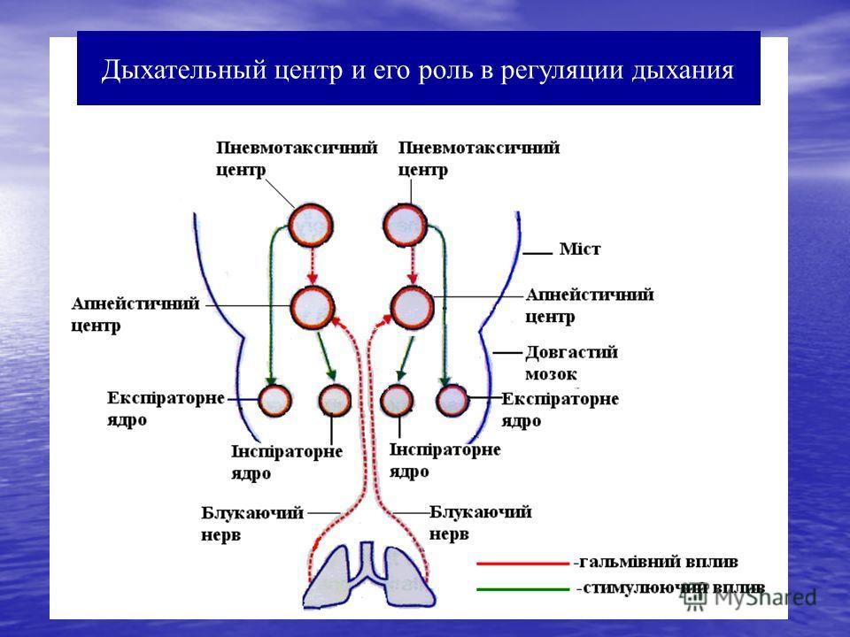 Дыхательный центр и его роль в регуляции дыхания