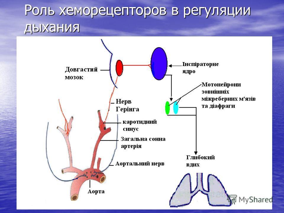 Роль хеморецепторов в регуляции дыхания