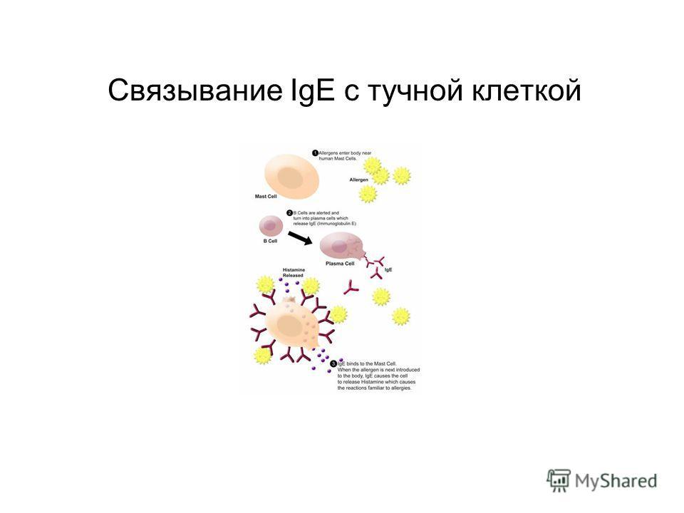 Связывание IgE с тучной клеткой