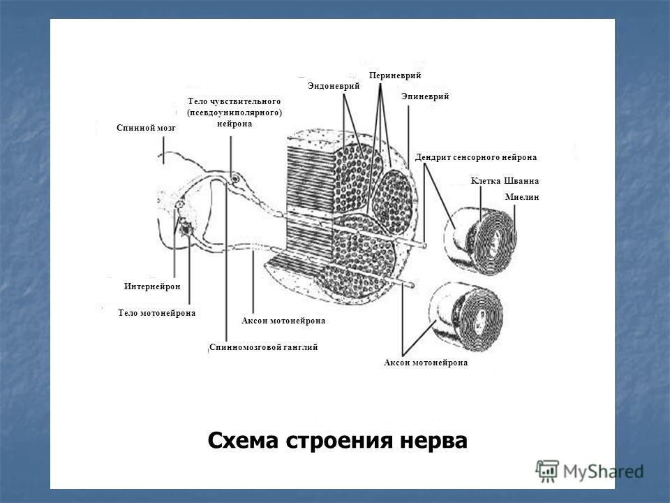 Схема строения нерва Интернейрон Периневрий Эпиневрий Дендрит сенсорного нейрона Клетка Шванна Миелин Аксон мотонейрона Тело мотонейрона Спинной мозг Спинномозговой ганглий Аксон мотонейрона Эндоневрий Тело чувствительного (псевдоуниполярного) нейрон