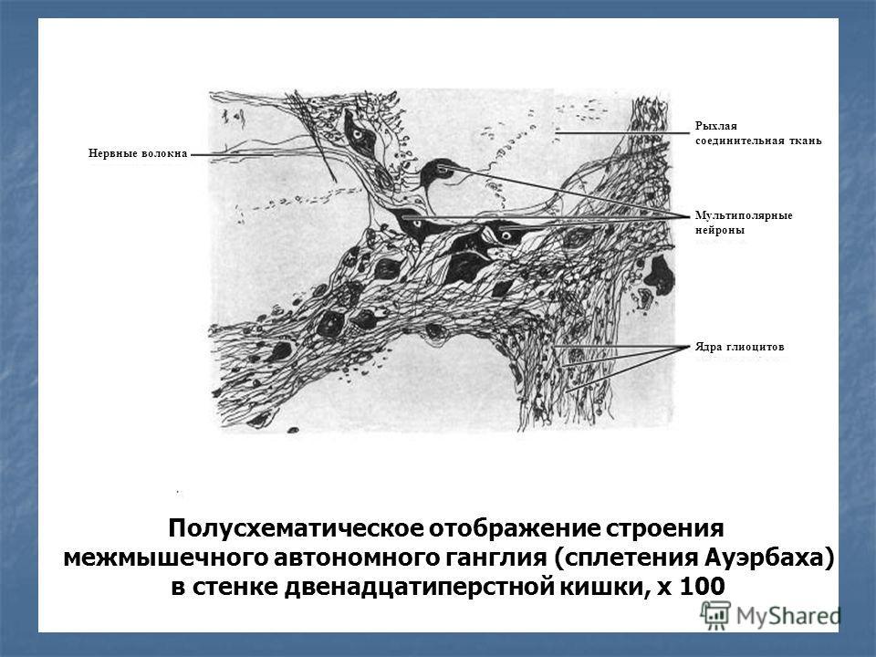 Полусхематическое отображение строения межмышечного автономного ганглия (сплетения Ауэрбаха) в стенке двенадцатиперстной кишки, х 100 Нервные волокна Рыхлая соединительная ткань Мультиполярные нейроны Ядра глиоцитов