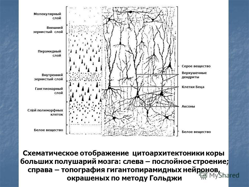 Схематическое отображение цитоархитектоники коры больших полушарий мозга: слева – послойное строение; справа – топография гигантопирамидных нейронов, окрашеных по методу Гольджи Молекулярный слой Верхушечные дендриты Внешний зернистый слой Внутренний