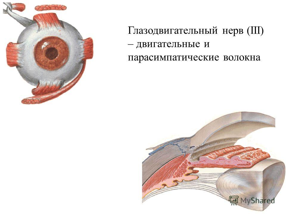 Глазодвигательный нерв (ІІІ) – двигательные и парасимпатические волокна