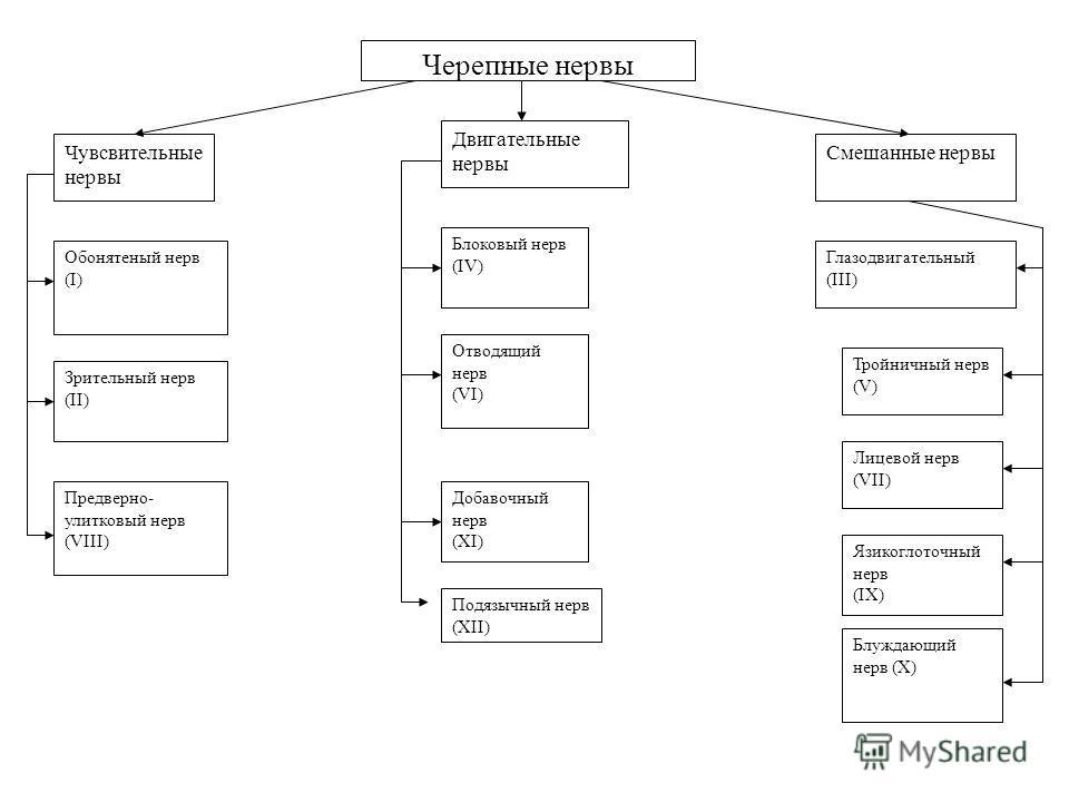 Чувсвительные нервы Двигательные нервы Смешанные нервы Черепные нервы Обонятеный нерв (I) Зрительный нерв (II) Предверно- улитковый нерв (VIII) Блоковый нерв (IV) Глазодвигательный (III) Отводящий нерв (VI) Тройничный нерв (V) Добавочный нерв (ХI) Яз
