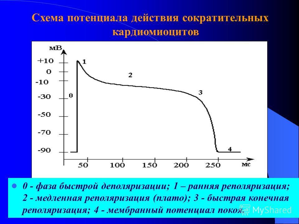 Схема потенциала действия сократительных кардиомиоцитов 0 - фаза быстрой деполяризации; 1 – ранняя реполяризация; 2 - медленная реполяризация (плато); 3 - быстрая конечная реполяризация; 4 - мембранный потенциал покоя.