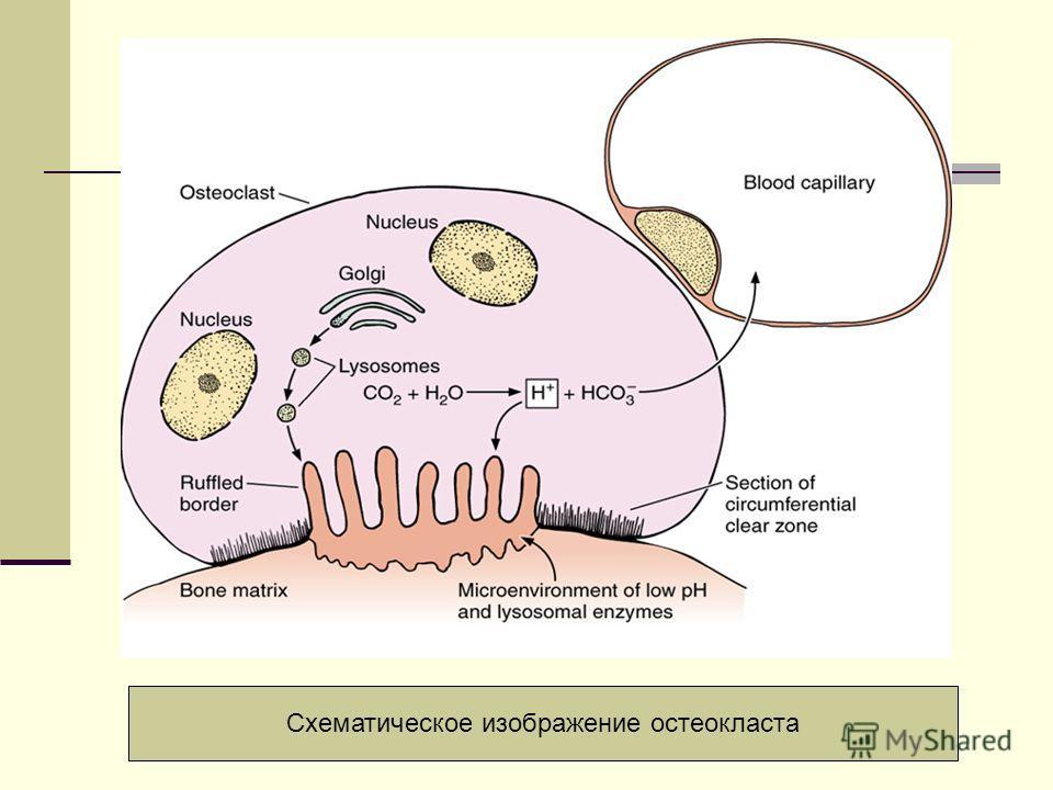 Схематическое изображение остеокласта