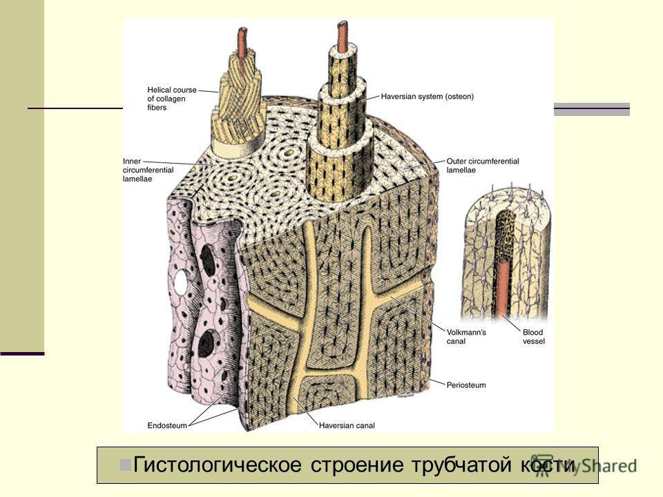 Гистологическое строение трубчатой кости