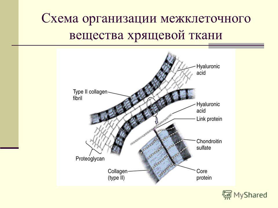 Схема организации межклеточного вещества хрящевой ткани