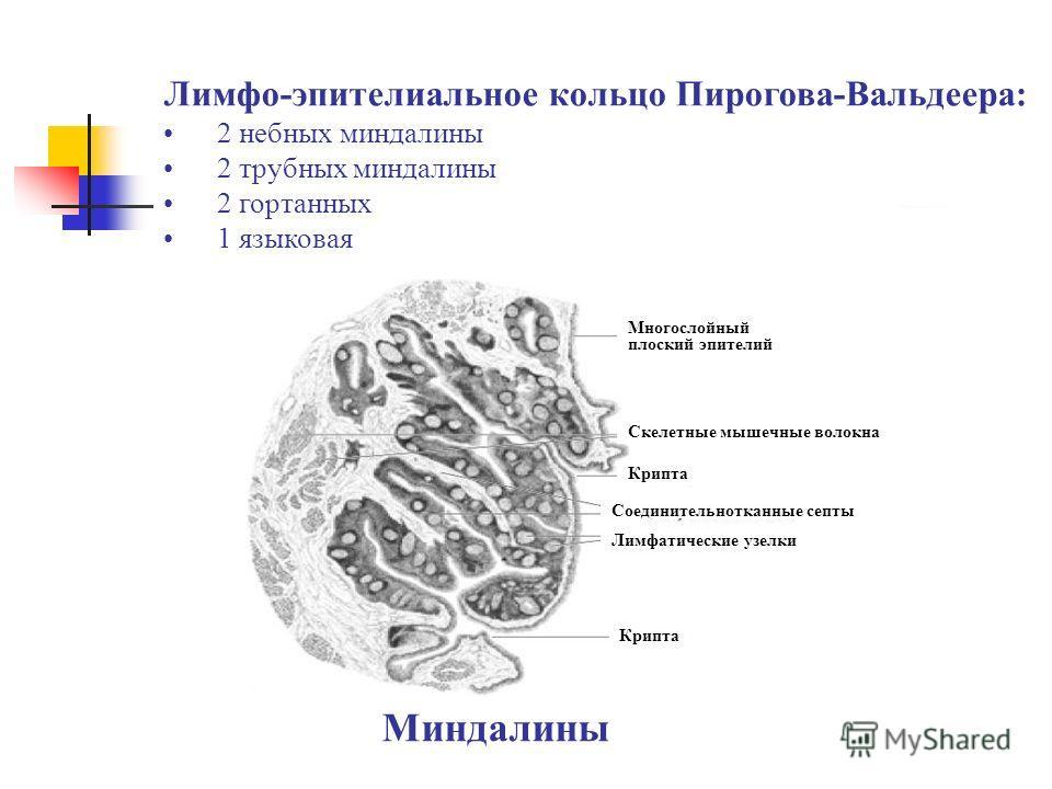 Миндалины Многослойный плоский эпителий Скелетные мышечные волокна Крипта Соединительнотканные септы Лимфатические узелки Крипта Лимфо-эпителиальное кольцо Пирогова-Вальдеера: 2 небных миндалины 2 трубных миндалины 2 гортанных 1 языковая